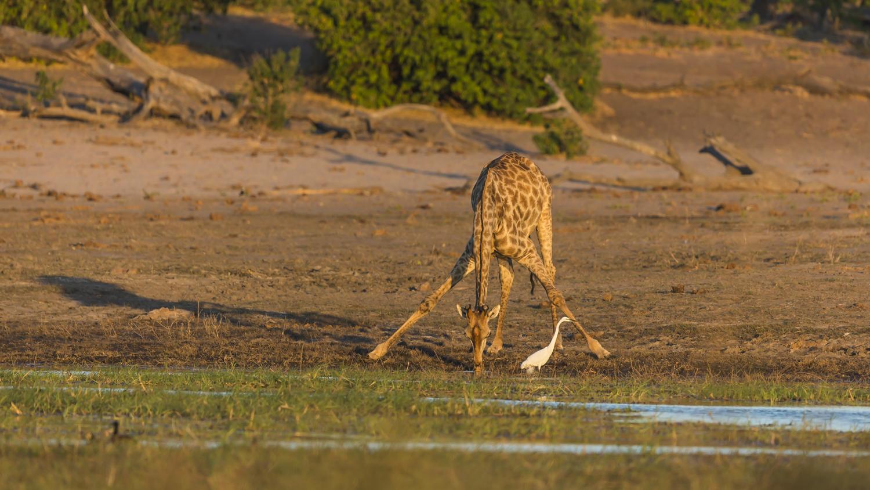 Giraffe Chobe River