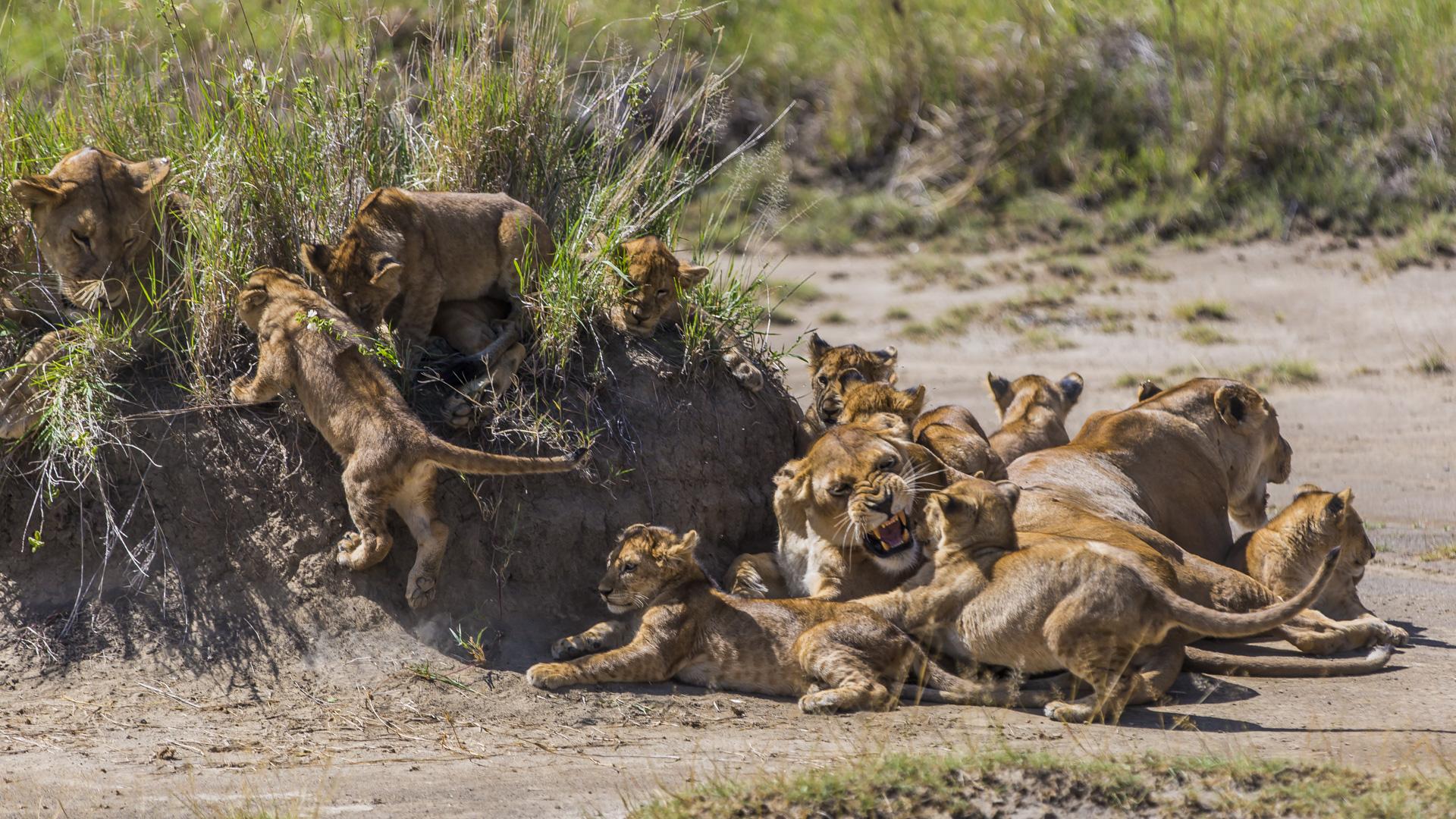 Lwice z potomstwem Serengeti, Tanzania