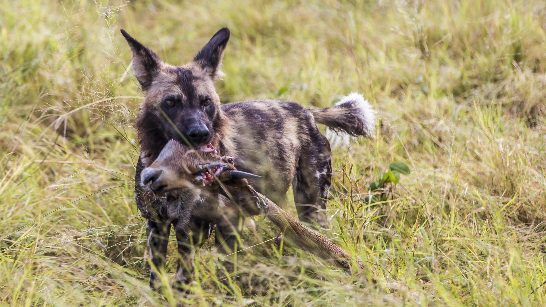 Wild dog Okavango Delta