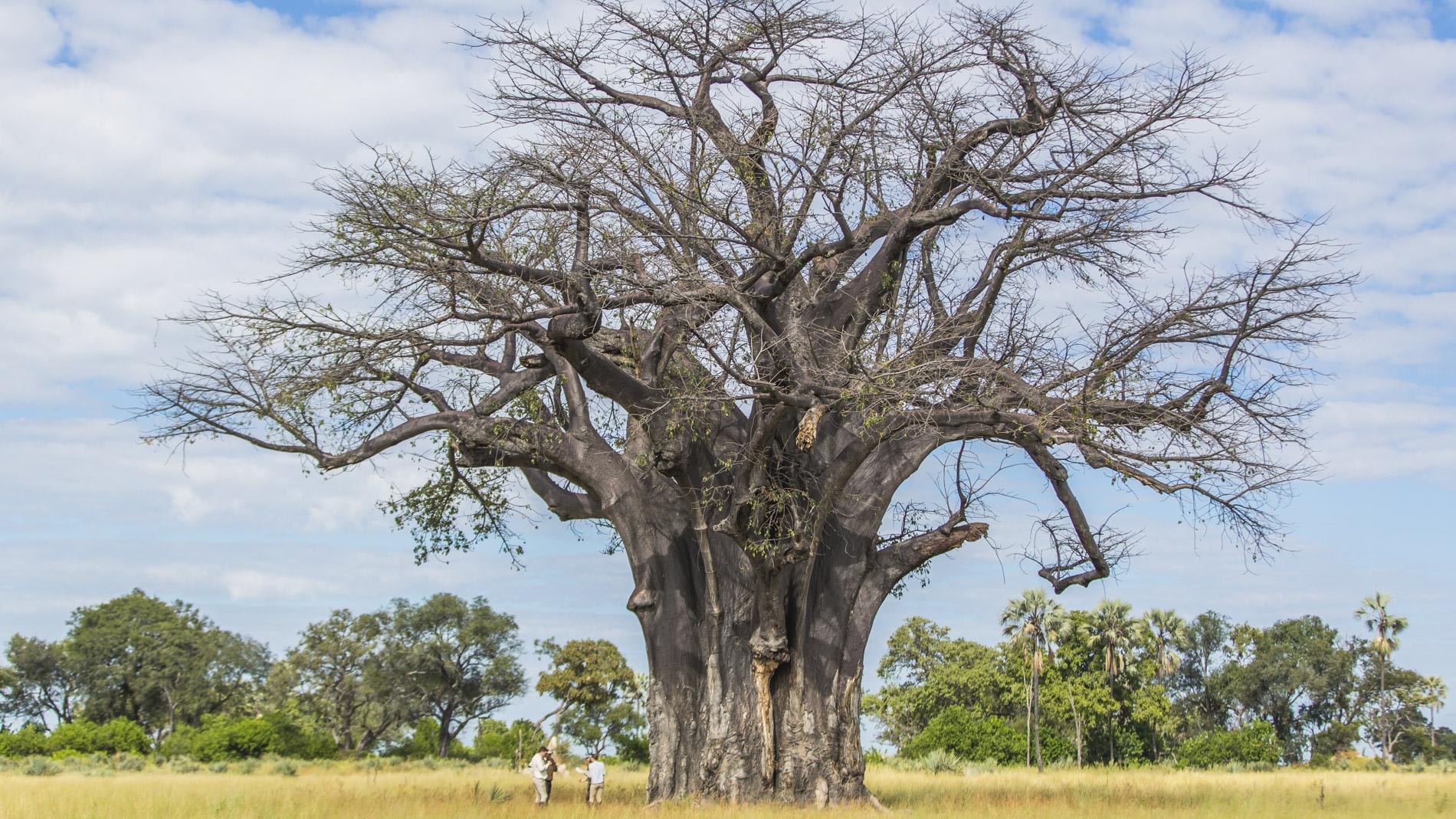 African Horseback Safaris wypoczynek pod baobabem
