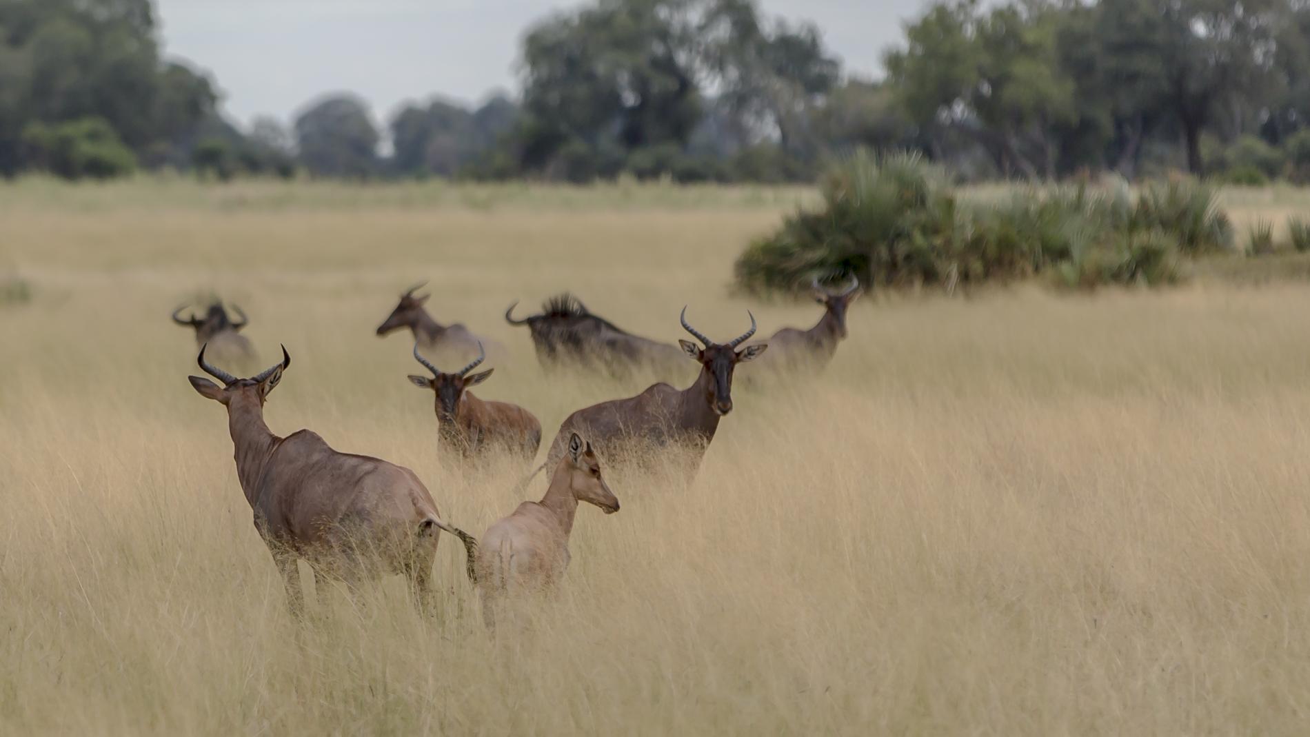 Watchung tsessebe at African Horseback Safaris
