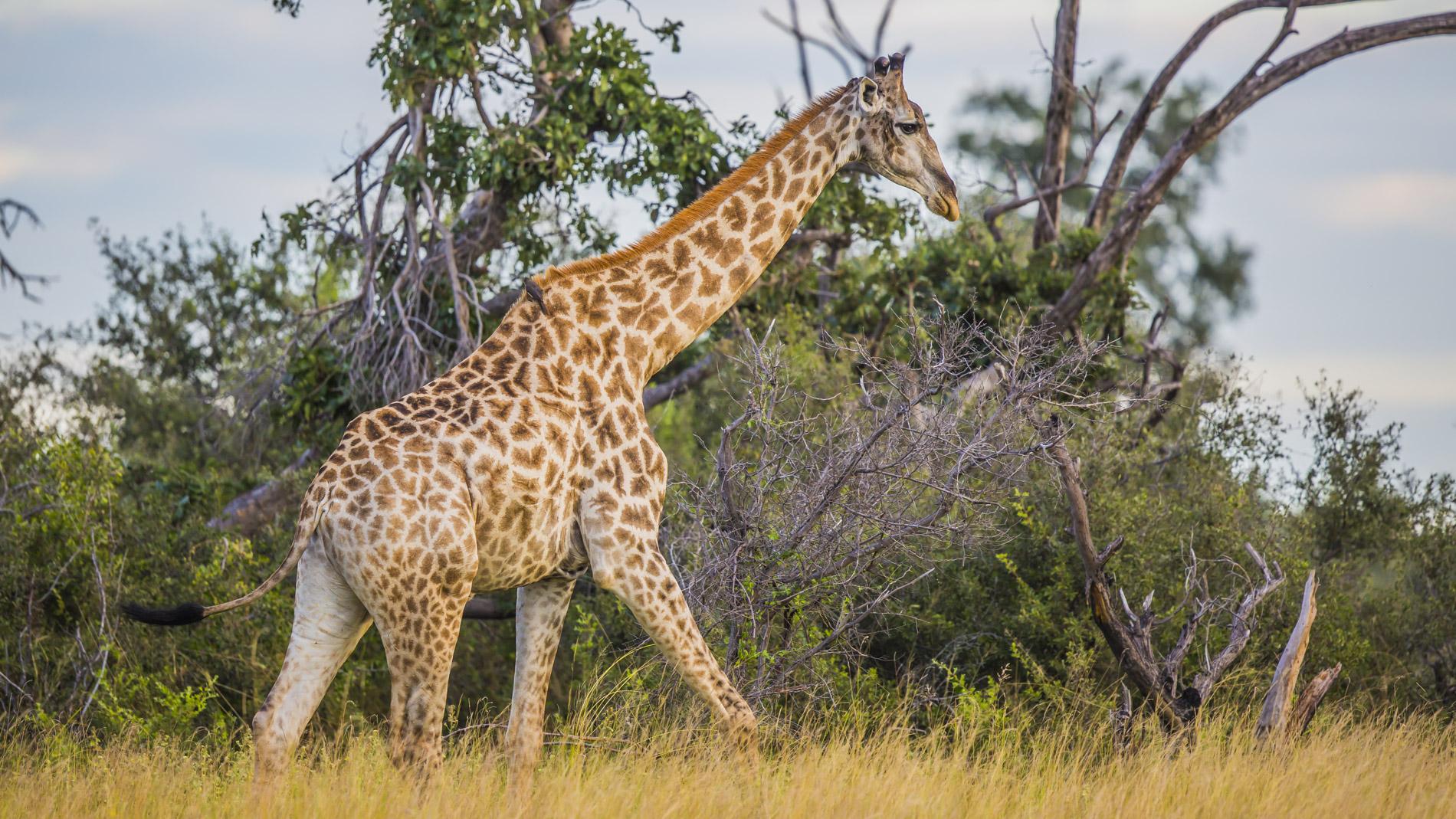 Watching giraffe at African Horseback Safaris