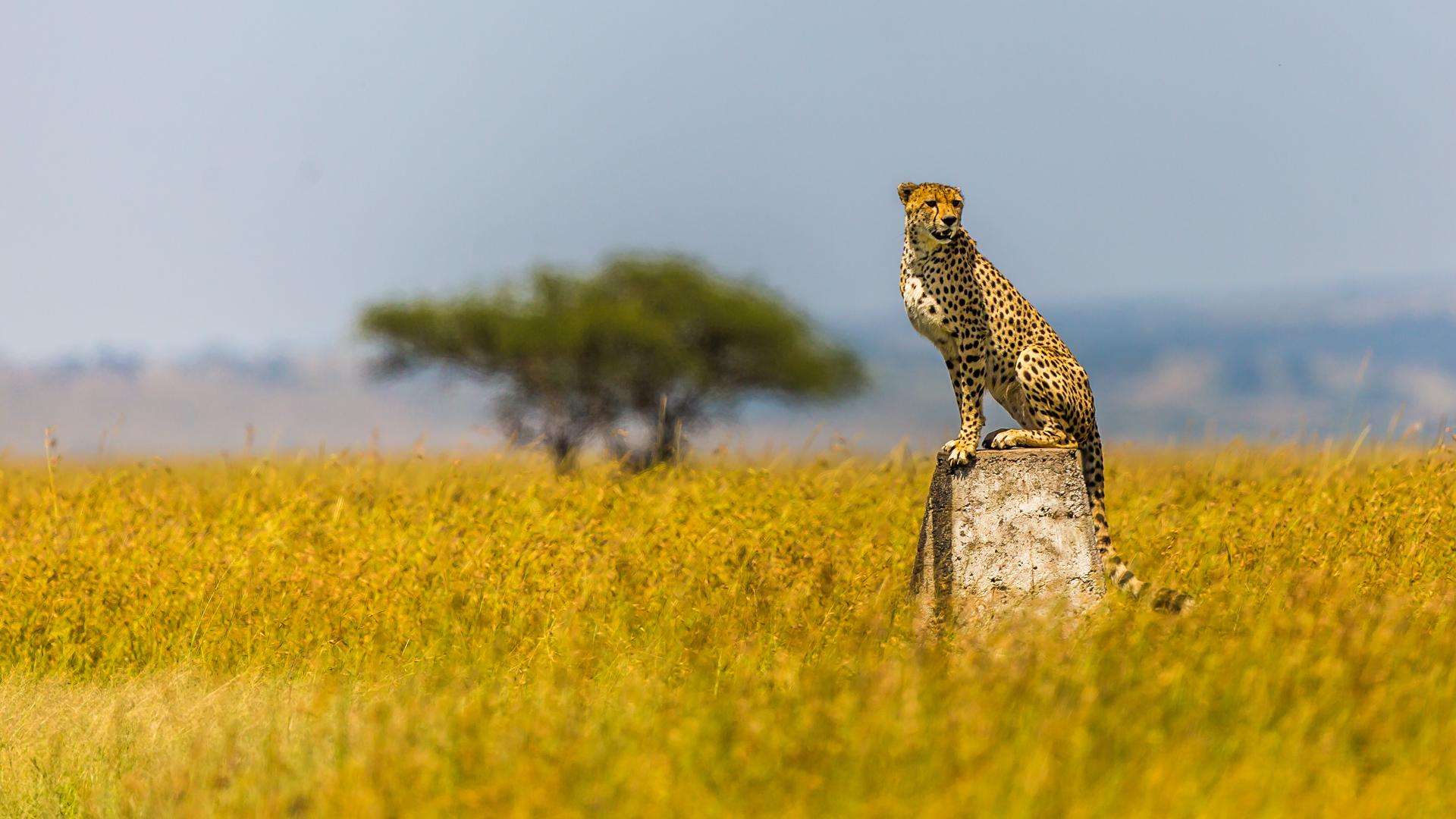 gepard na granicy Serengeti i Masai Mary