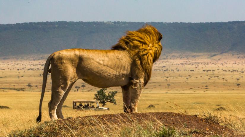 Lew i turyści Masai Mara