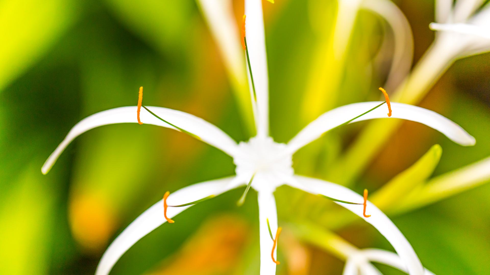 Como Maalifushi Spider Lilies at Spa Shambala
