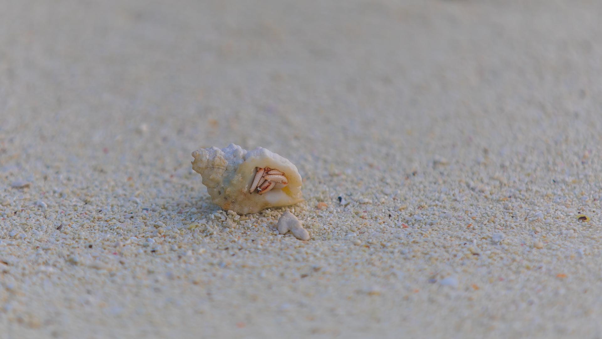 Kuda Huraa miniaturowy krab po ... czmychnięciu
