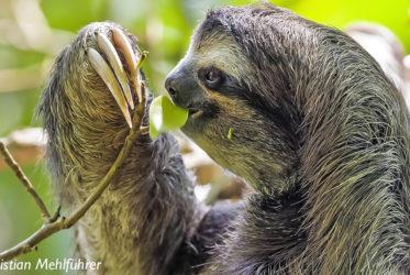 Kostaryka milesaway leniwiec