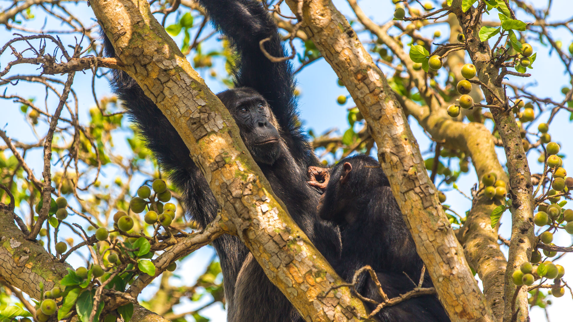 Chimpanzees in Queen Elizabeth National Park
