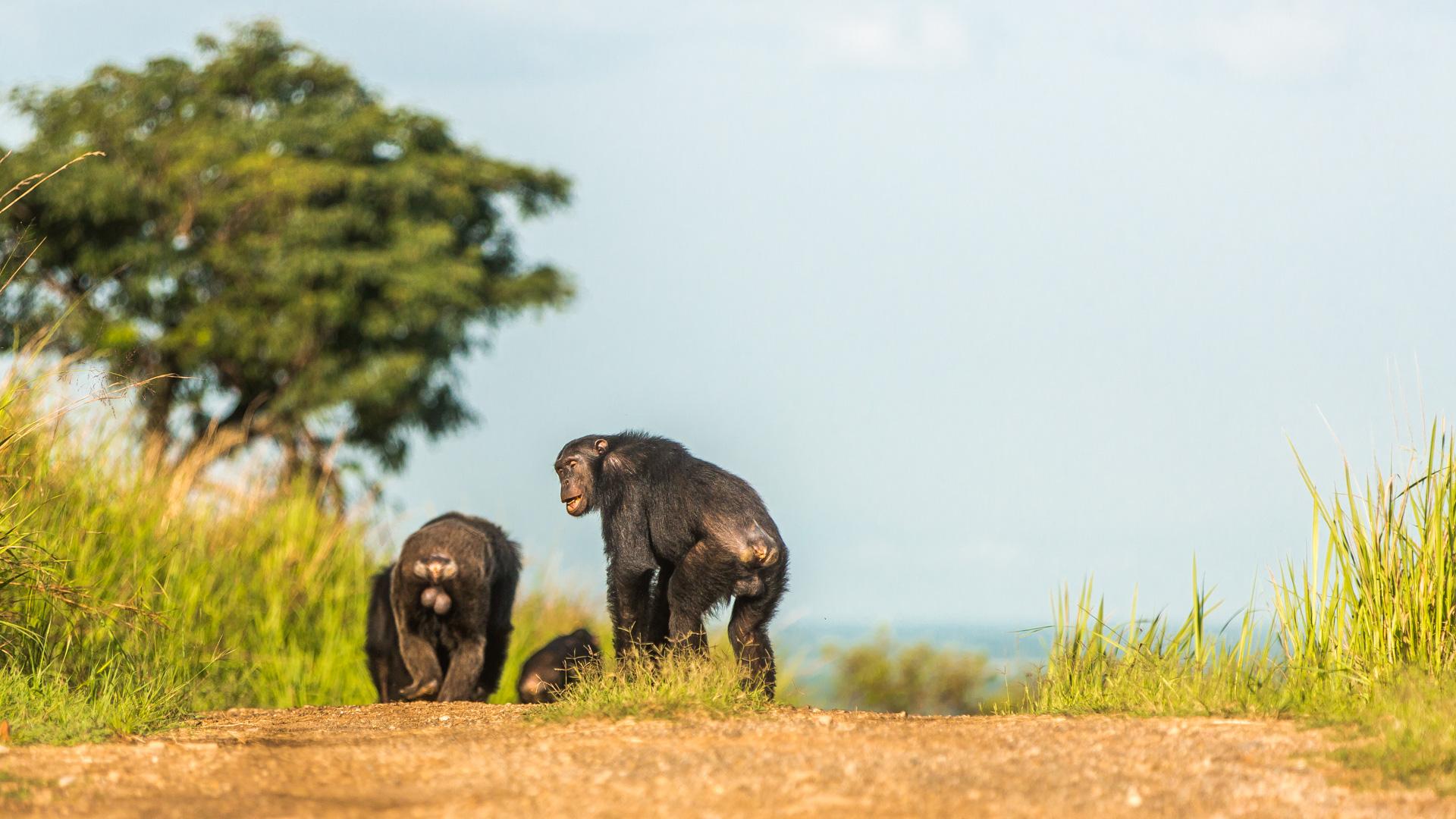 Rodzina szympansów na ... codziennym spacerze