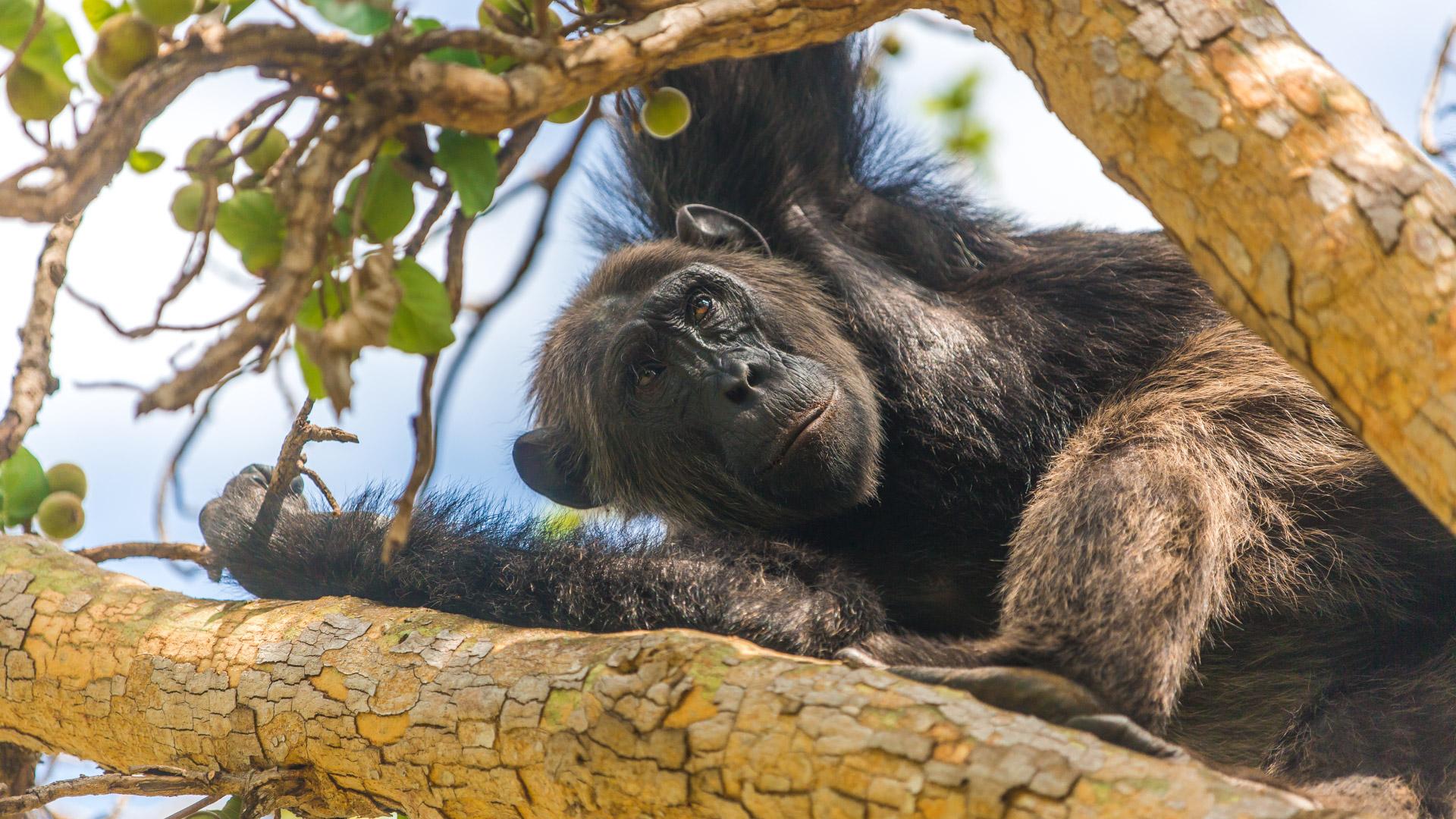 Szympany uwielbiają dziko rosnące figi ...