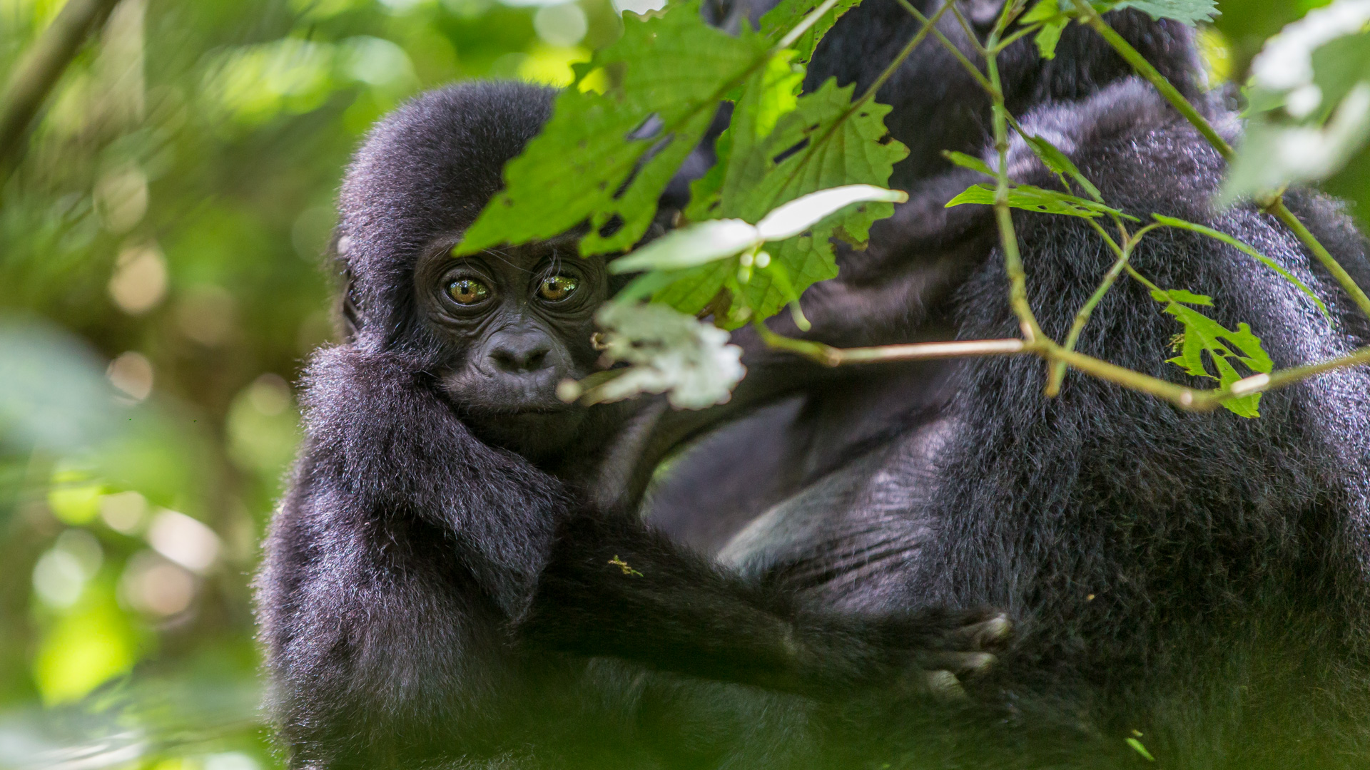 Tiny Gorilla with his/her mother