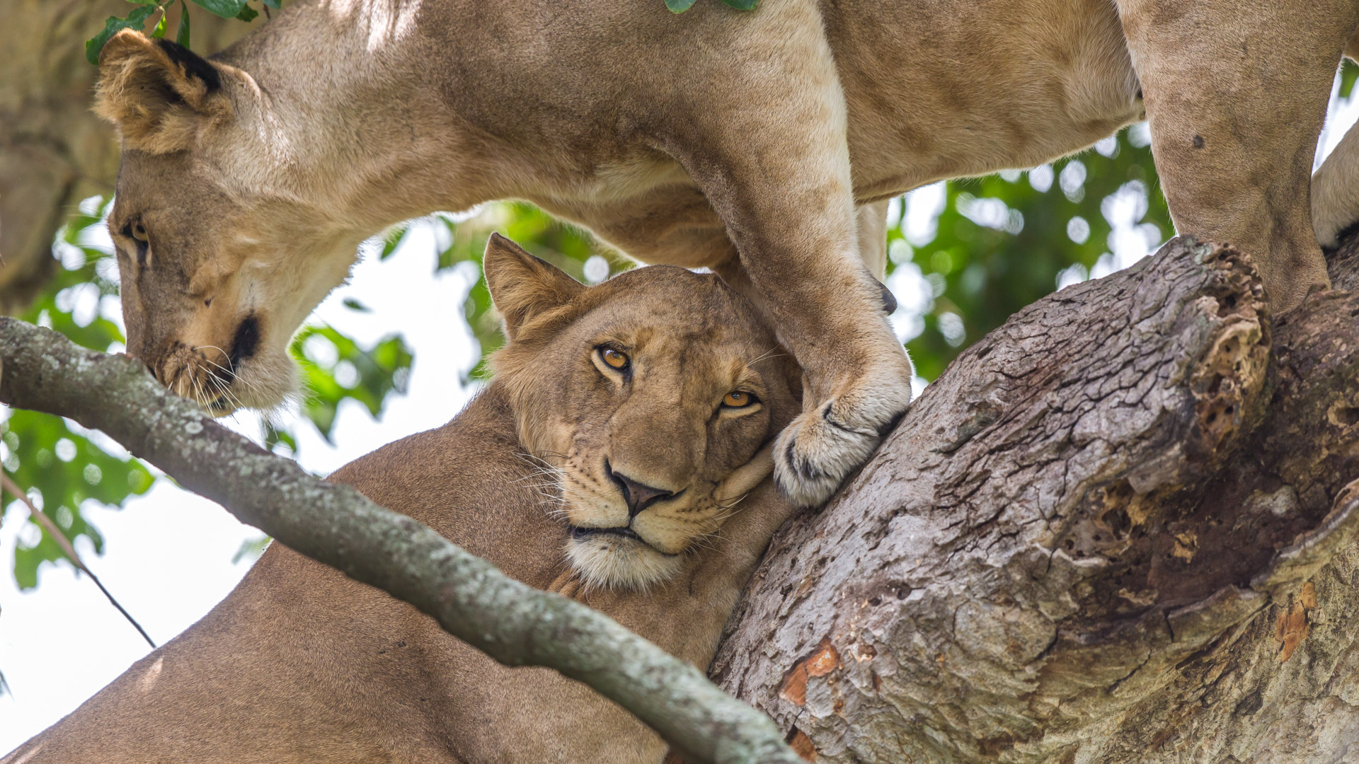 Lions climbing the trees in Ishasha