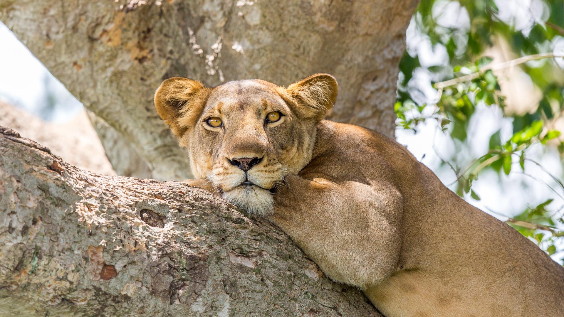 Ishasha - lwica na drzewie