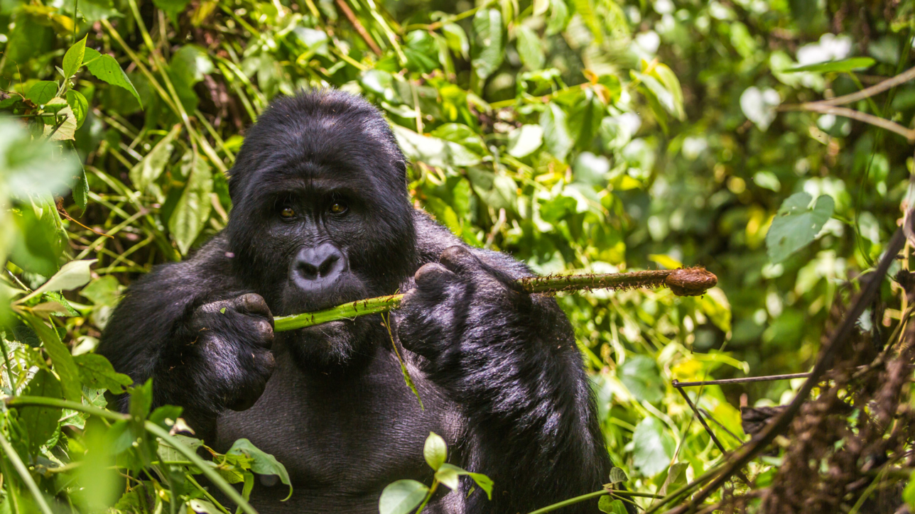 Mountain Gorilla, Bwindi Impenetrable Forest
