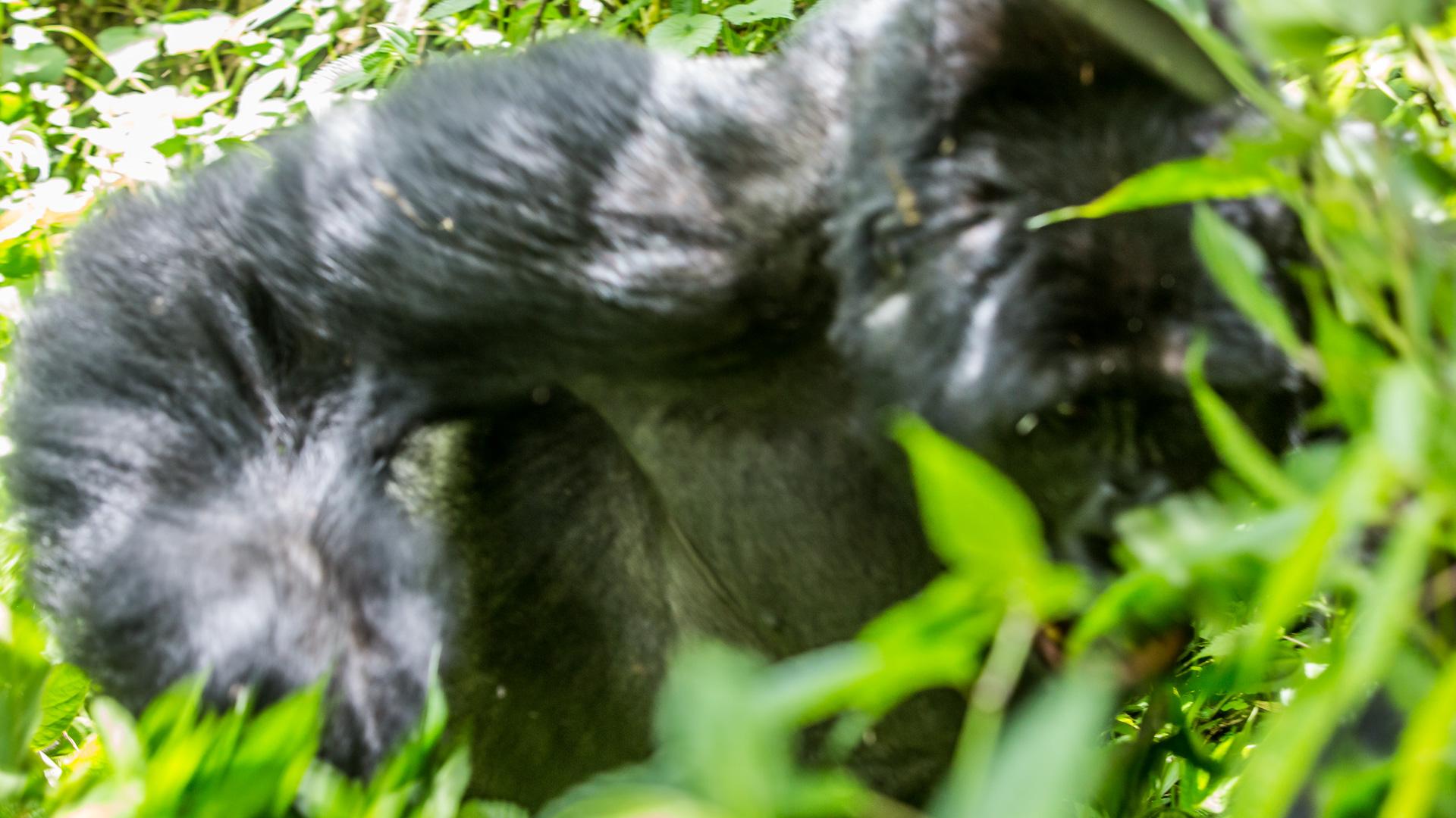 Goryl w ataku, zdjęcie zrobione z biodra z jamy ziemnej ...
