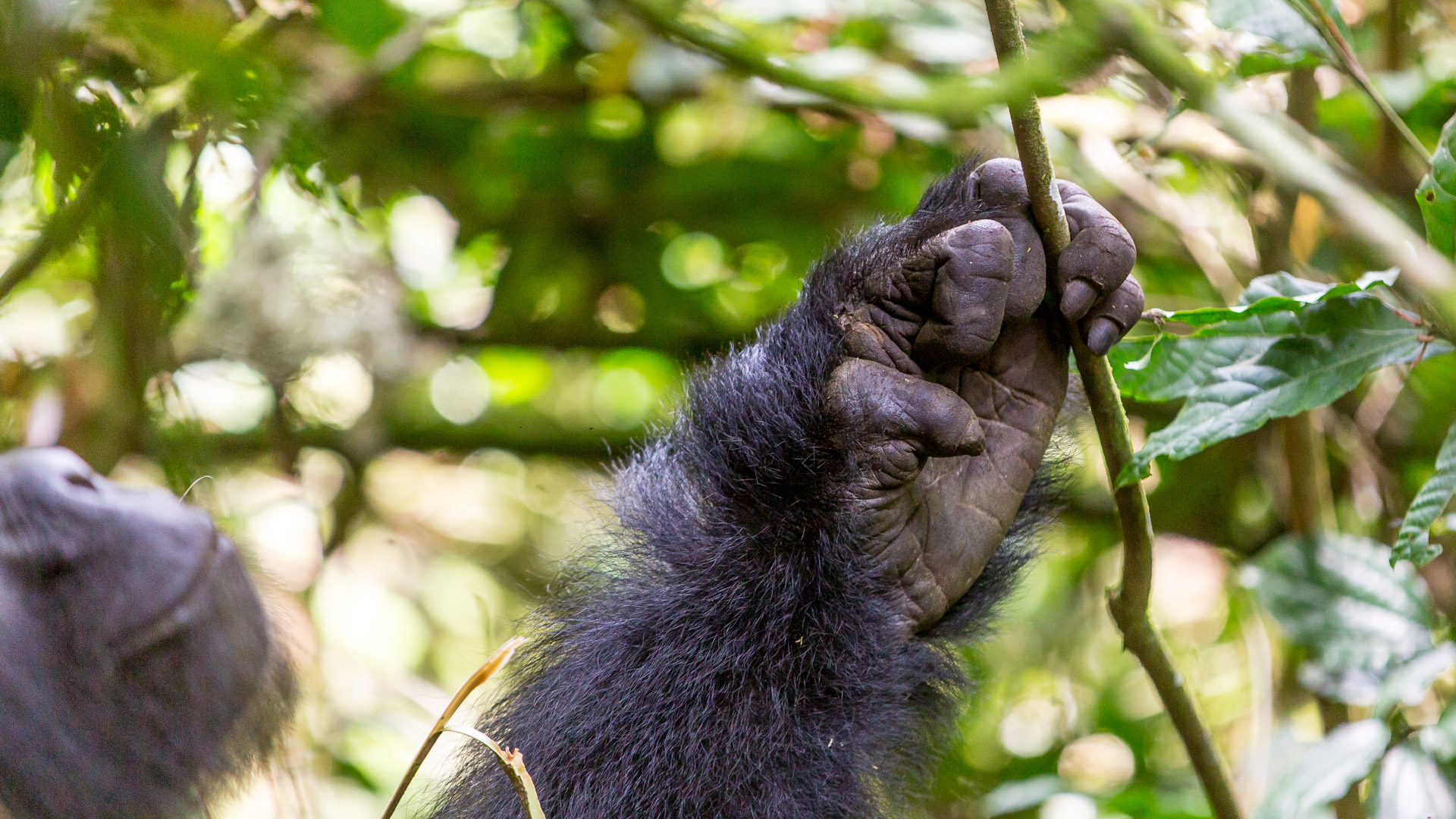 Gorillas ... hand