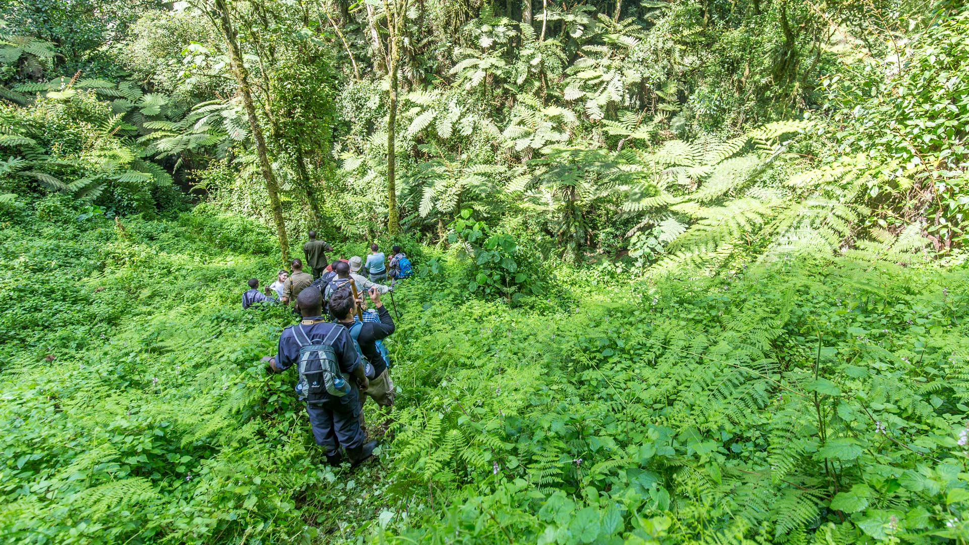 Tracking mountain gorillas
