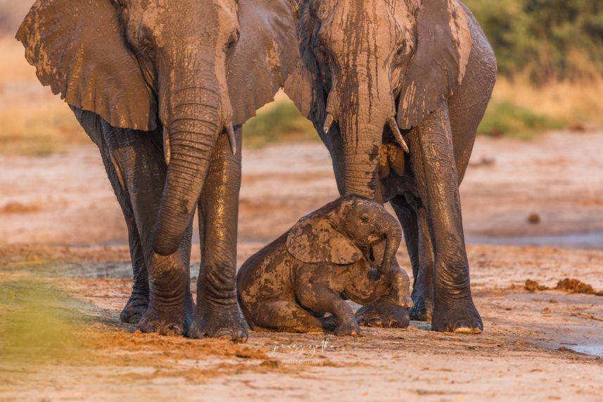 Słoniątko w towarzystwie rodziców