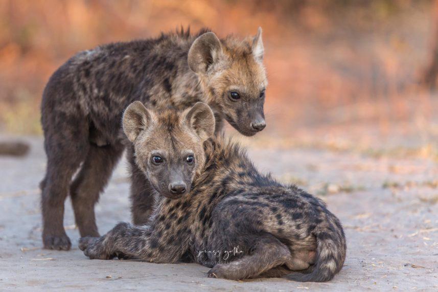 Małe hieny