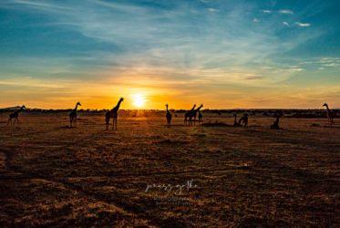 I żyrafy wyszły i gapiły się na słońce ...