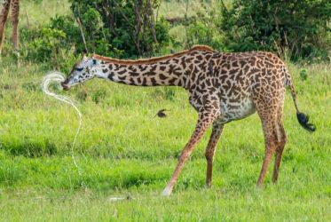 Wodna zabawa żyrafy i kolibra