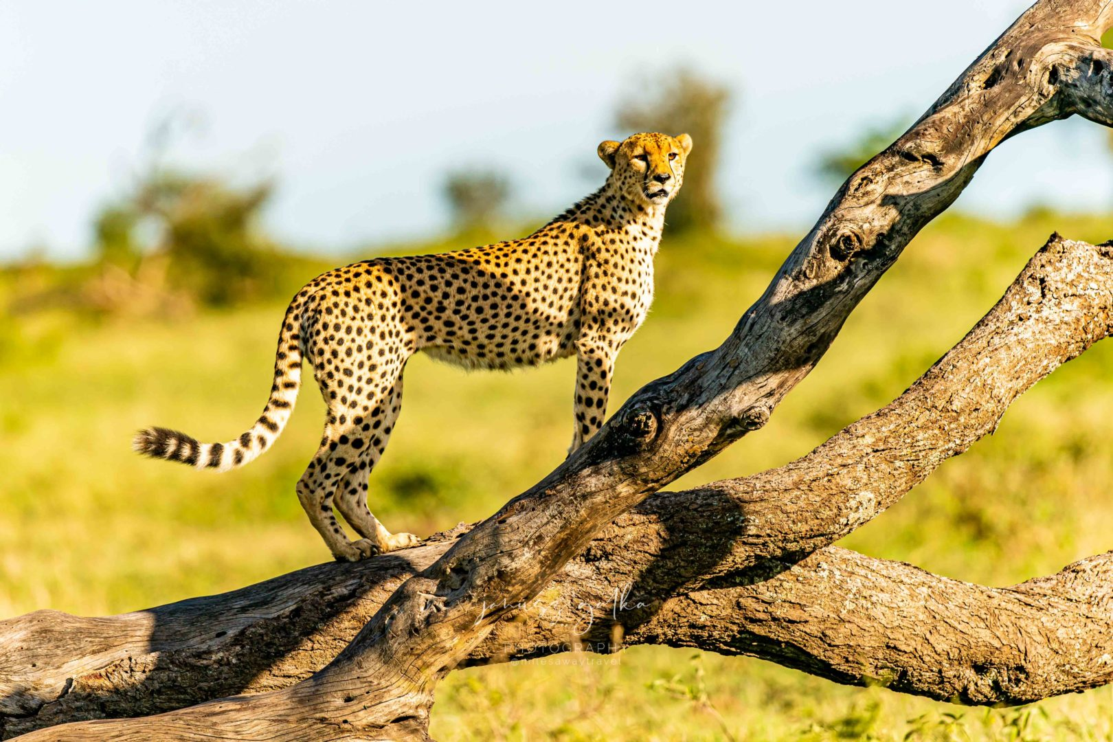 Samiec geparda wypatruje gazeli Thompsona