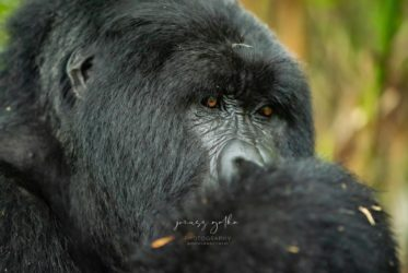Agashya silverback - Volcanoes National Park