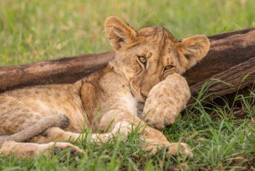 Rodzina lwia nie przejawia ochoty do polowania