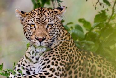 Jaguar w Botswanie - Botswana for adventurers
