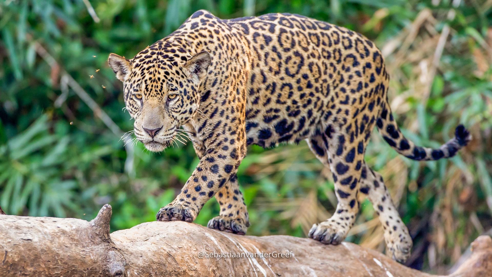 Jaguar Pantanal w Botswanie