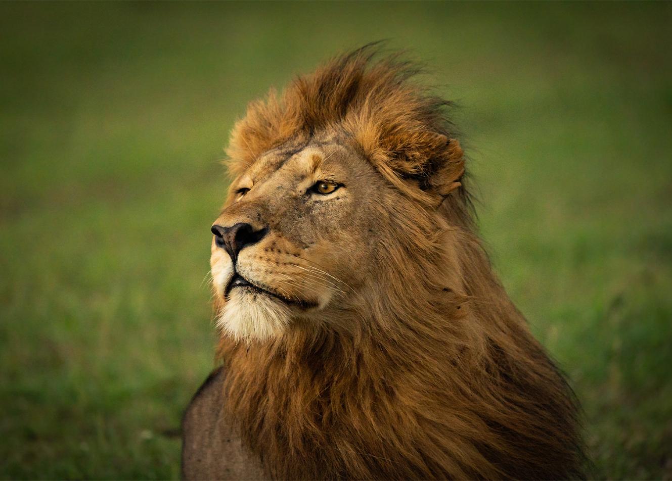 Lion_noframe
