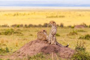 Mara Brothers, gepardy w Masai Mara, autor Janusz Galka, limitowana wersja