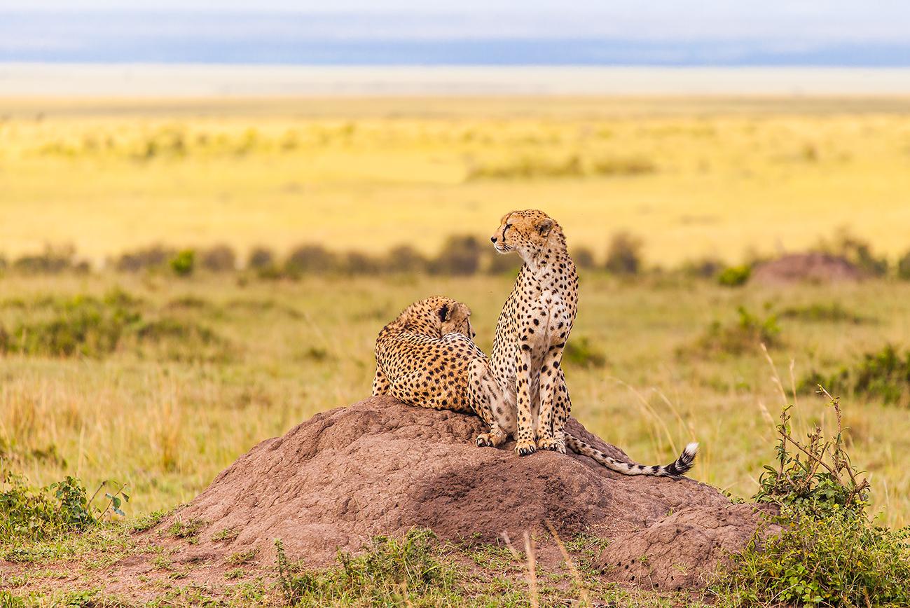 cheetahs_masaimara_full 2