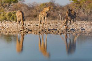 Family reunion, żyrafy u wodopoju w Parku Narodowym Etosza w Namibii, autor Janusz Galka