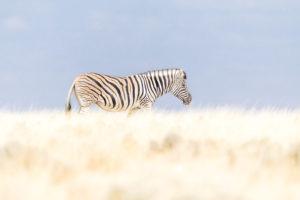 Zebra Etosha National Park, autor Janusz Galka
