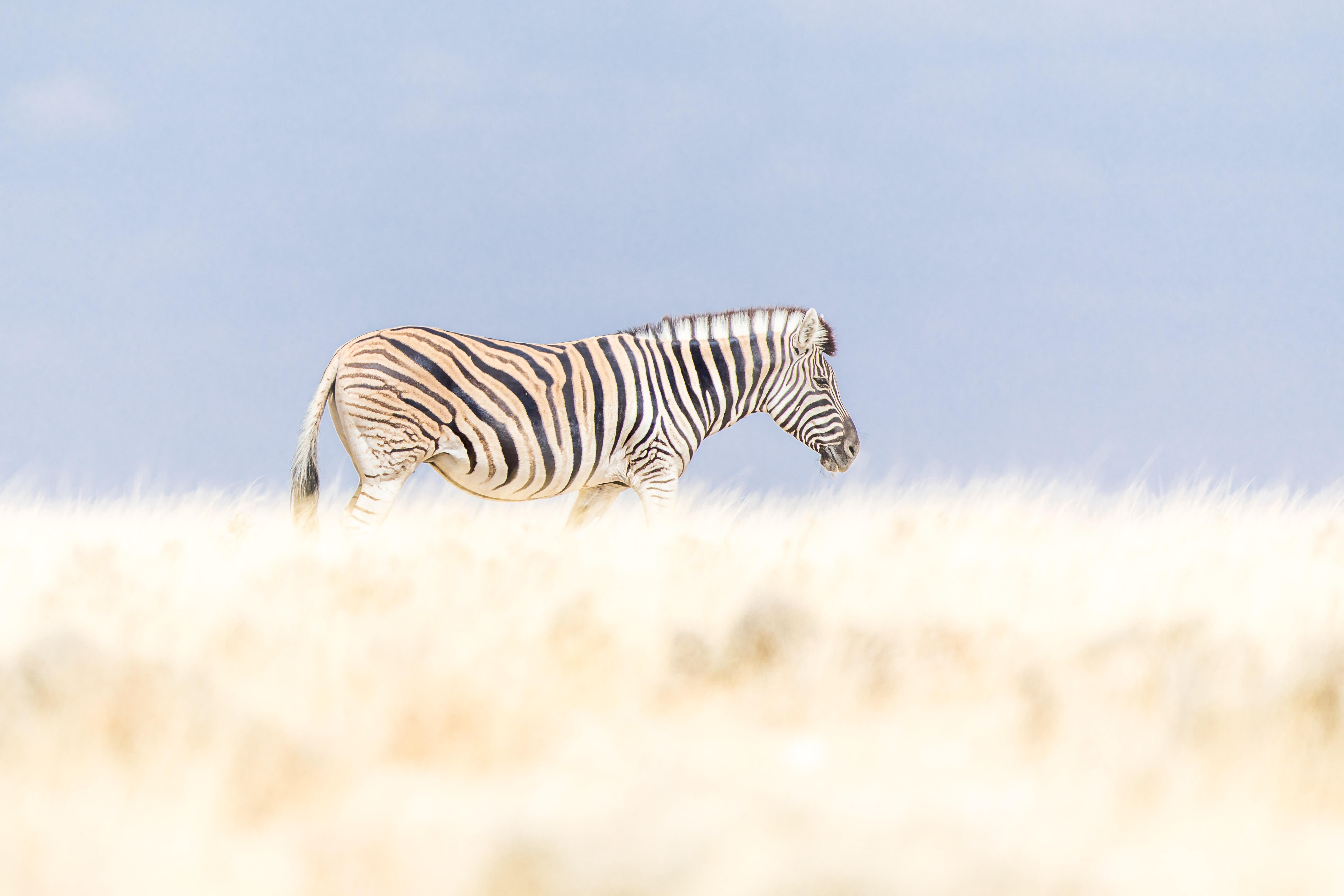 zebra_full